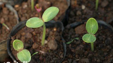 صورة الطور السائد في النباتات البذرية هو الطور