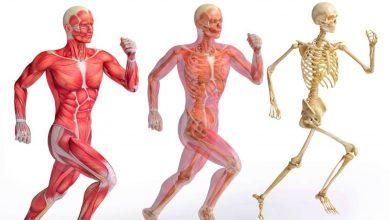 صورة ترتبط العضلات بالعظام عن طريق