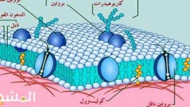 صورة في الخلايا النباتية يتخصر الغشاء الخلوي في الوسط ؟