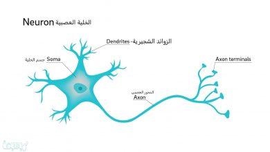 صورة كيف ينتقل السيال العصبي عبر الشق التشابكي