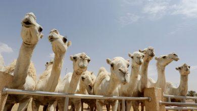 صورة نجل السفير البريطاني يدخل عالم الإبل والسعودية تهدية ناقة