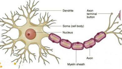 صورة تتكون الخلية العصبية من جسم الخلية وشجيرات عصبية ومحور أسطواني