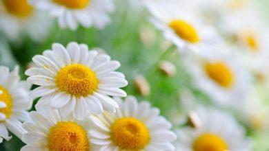 صورة أعشاب منومة قوية لعلاج الأرق الشديد وقلة النوم وتهدئة الأعصاب والاسترخاء مجربة