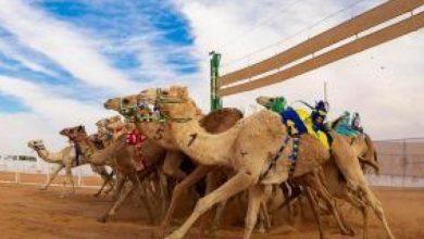 صورة ابن حثلين: مهرجان الإبل للمحصنين فقط