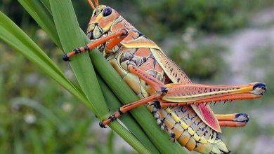 حشرة تسمع من قدميها