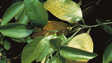 تؤدي الاوراق دورا هاما في تثبيت النبات في التربه